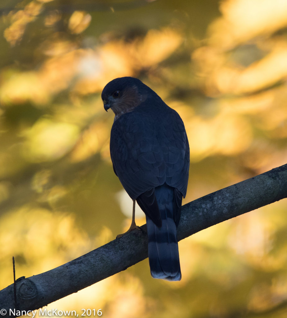 Photo of Sharp Shinned Hawk