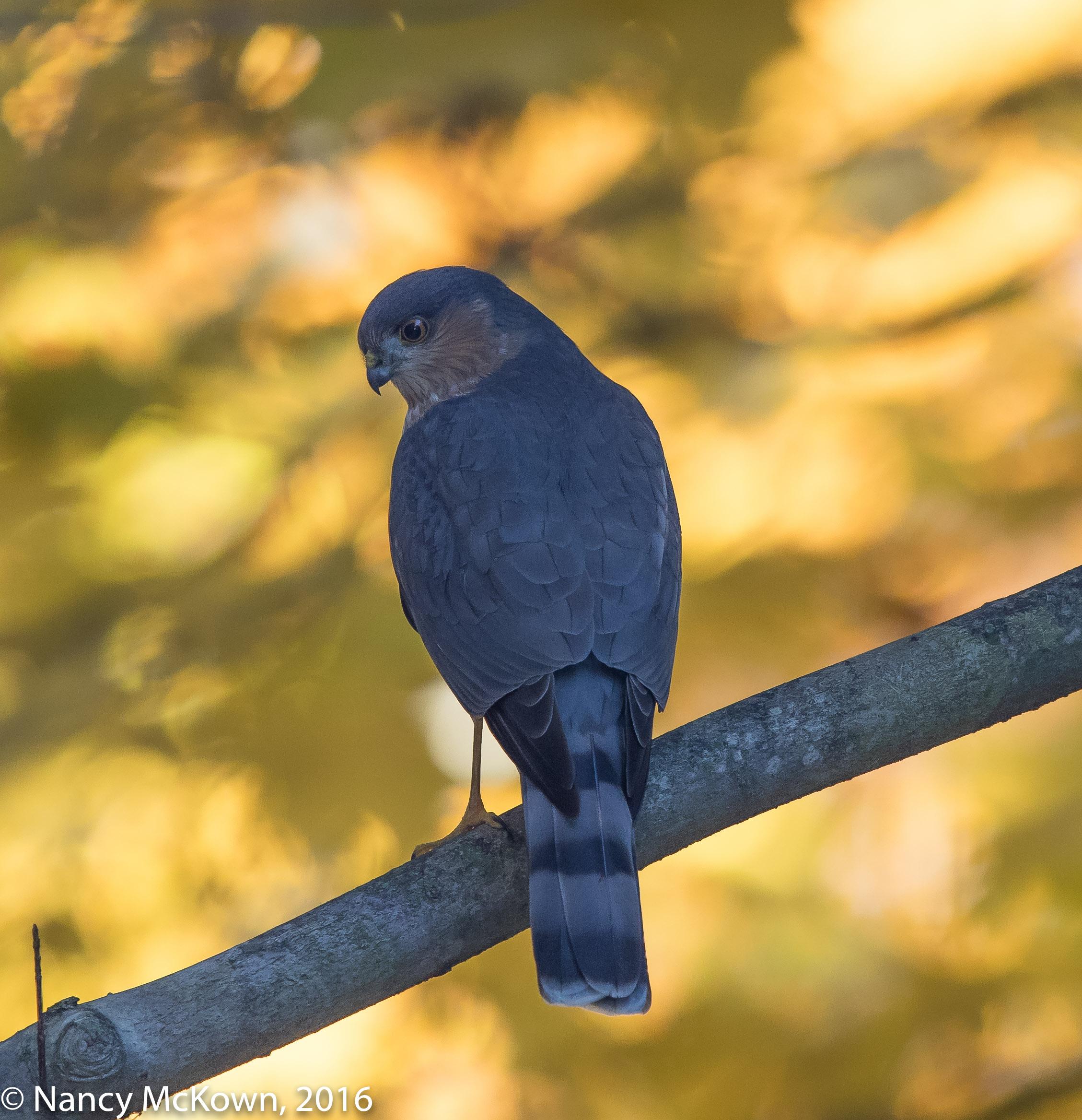 Photo of Sharp Shinned Hawk
