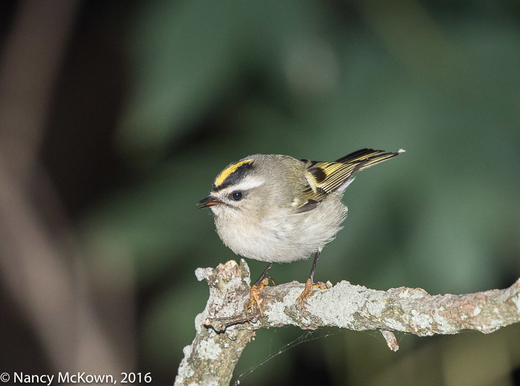 Photographing The Gold Crowned Kinglet
