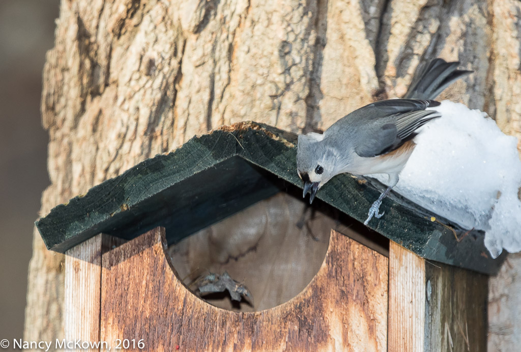 Photo of Hiding Eastern Screech Owl Hiding from a Tufted Titmouse