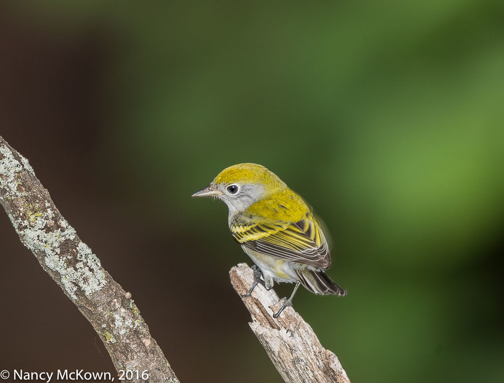 Photo of Chestnut Sided Warbler