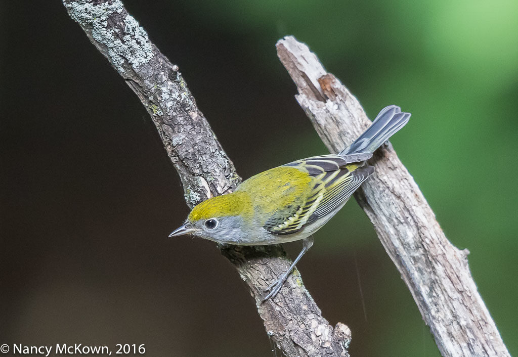 Photo of Female Chestnut Sided Warbler