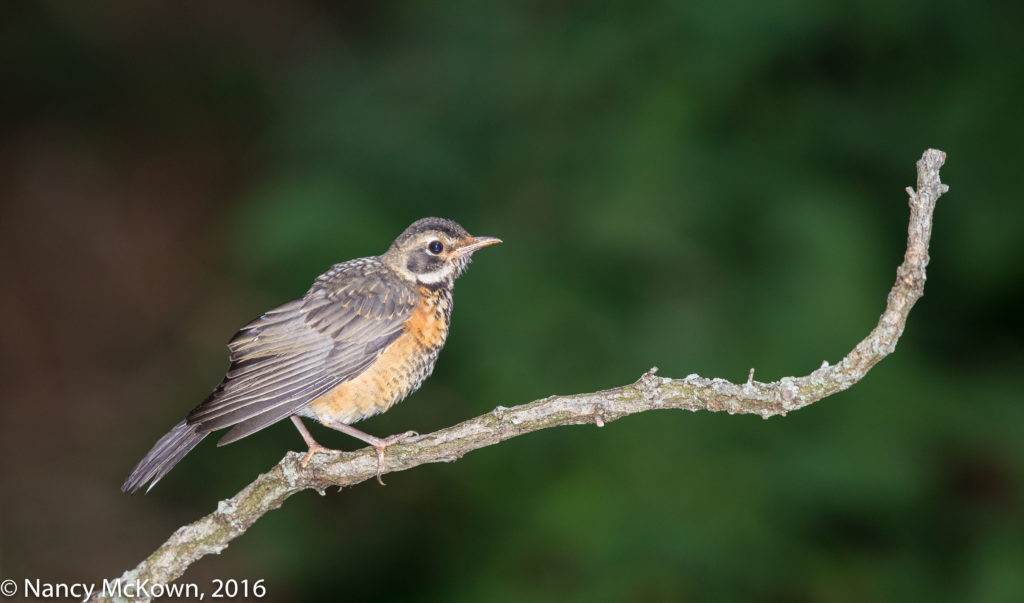 Photo of American Robin
