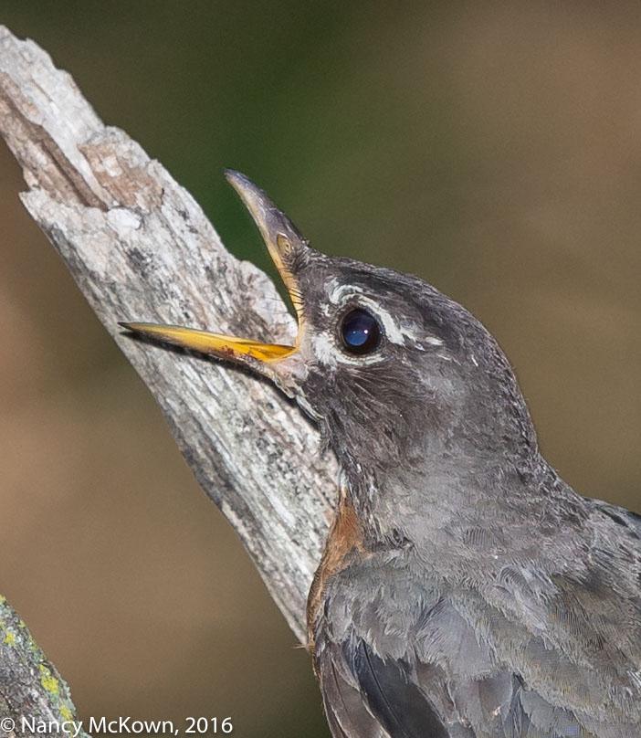 Photo of American Robin