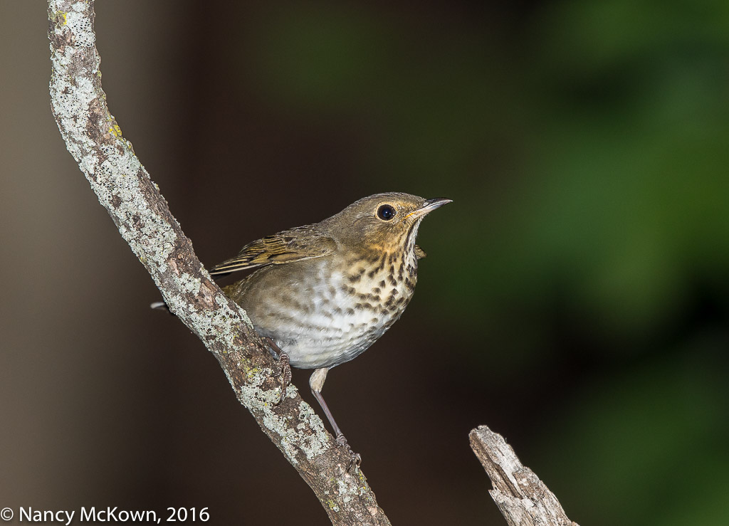 Photo of Wood Thrush
