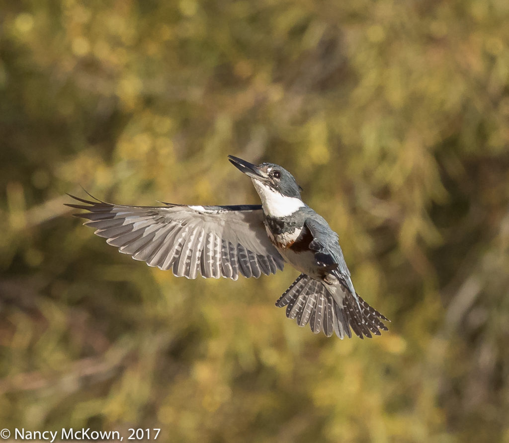 Photo of Kingfisher