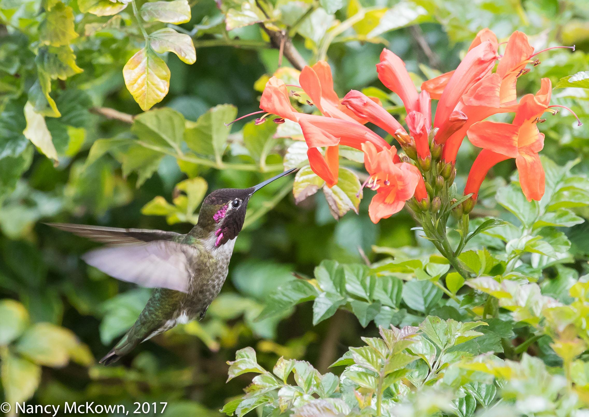 Photograph of Anna's Hummingbird