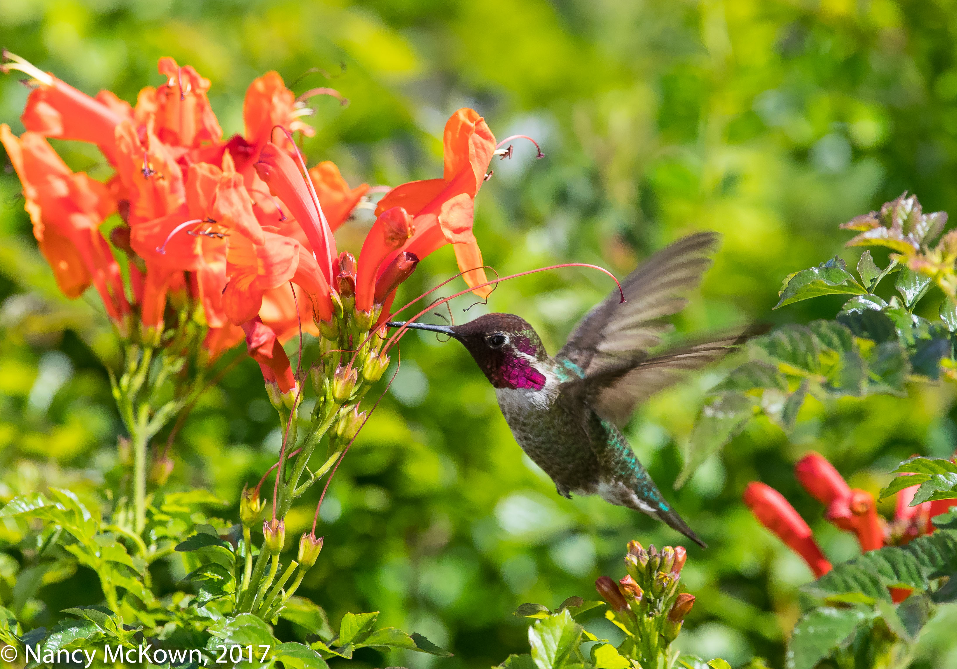 Photo of Anna's Hummingbird