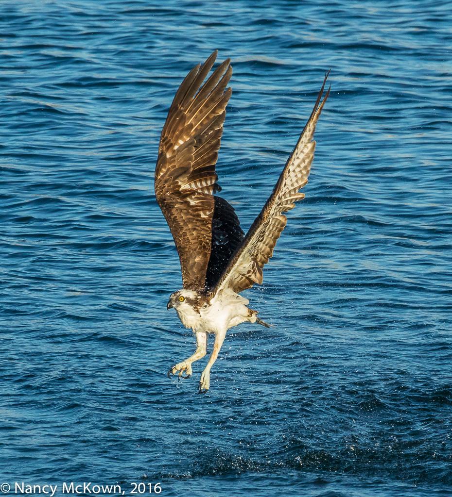 Photo of Osprey
