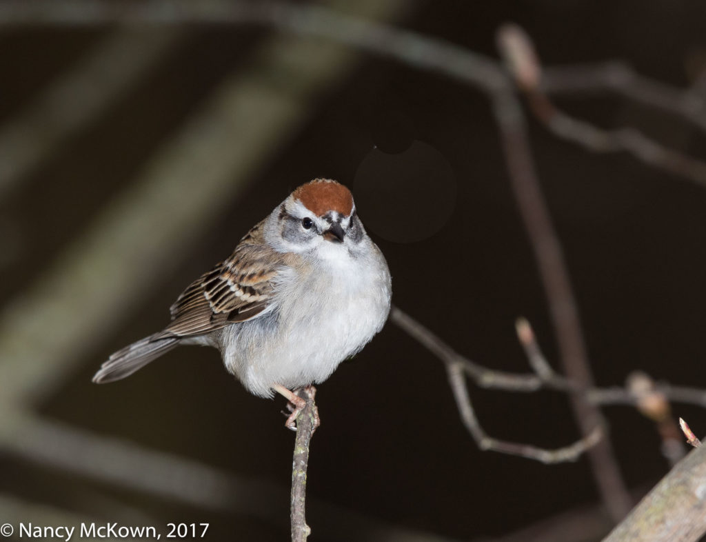 Photo of Chipping Sparrow