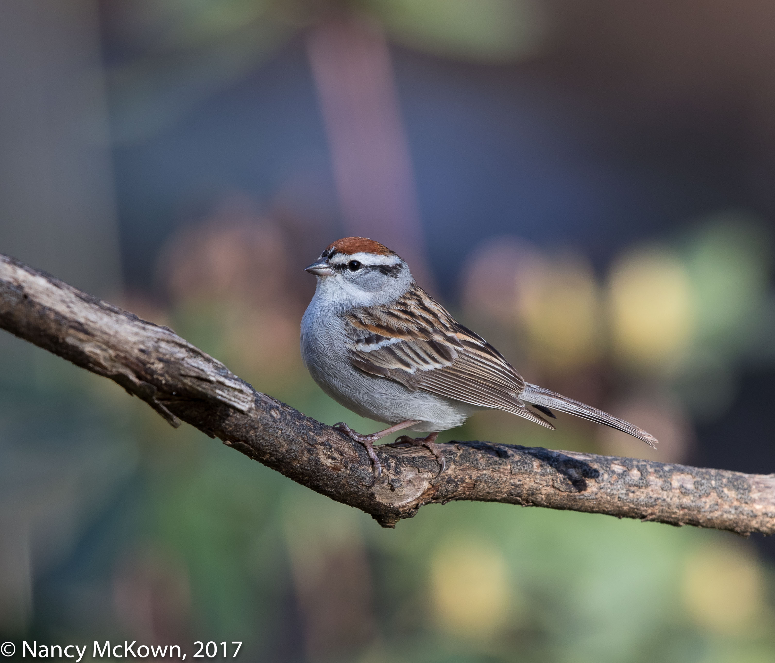 Photographing Chipping Sparrows