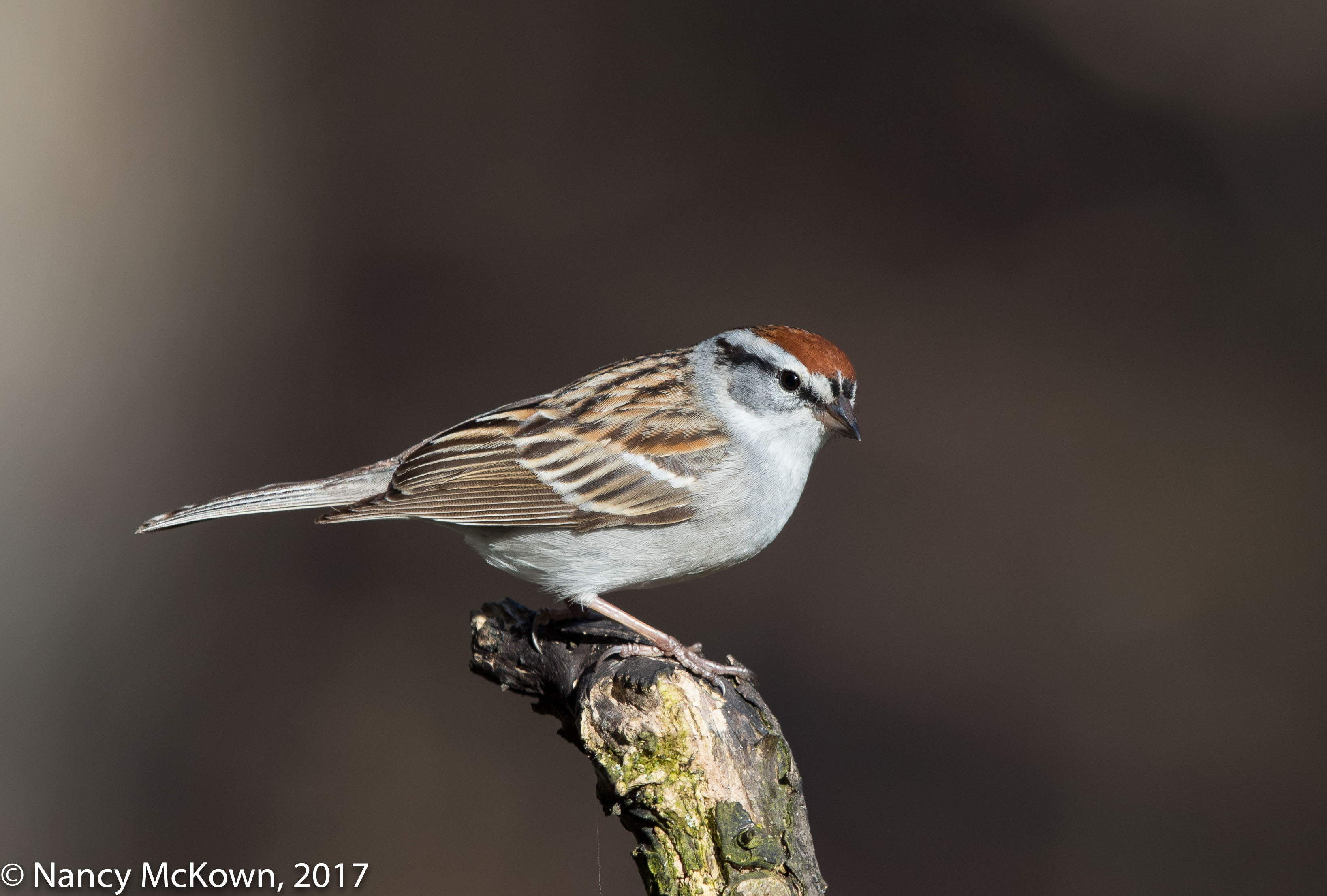 Photographing a Chipping Sparrow