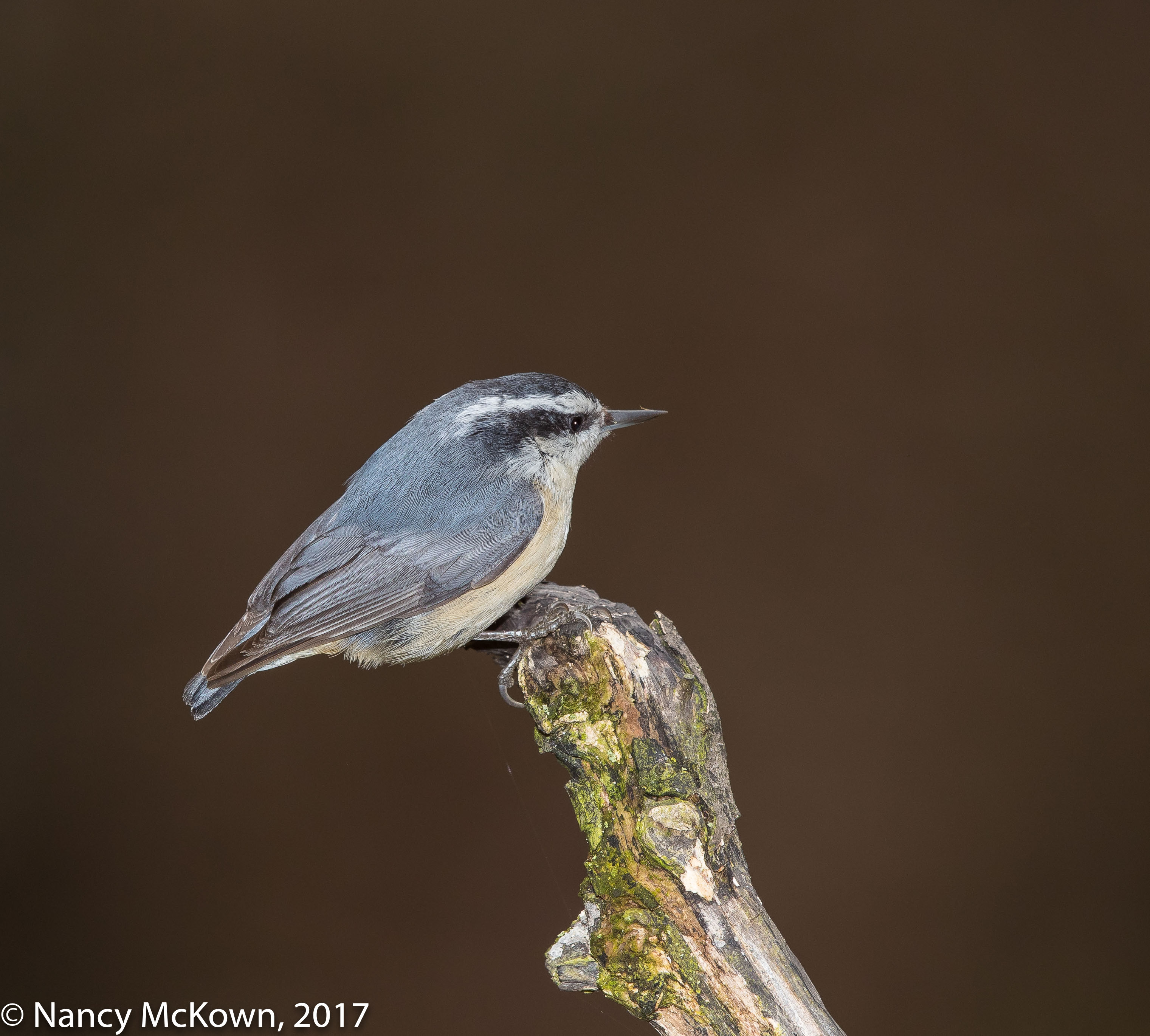 Photo of Red Breasted Nuthatch