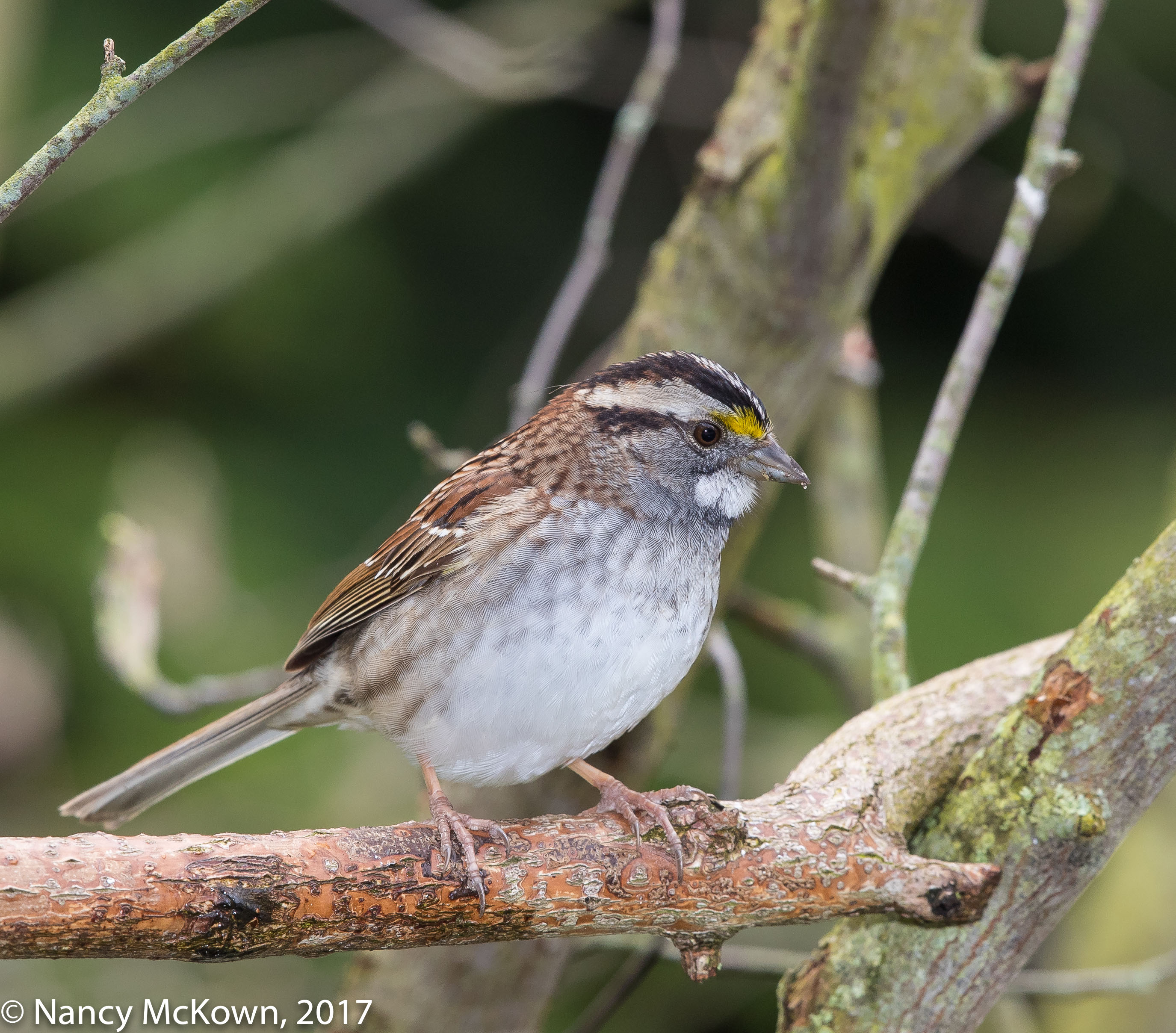 Photo of White Throated Sparrow