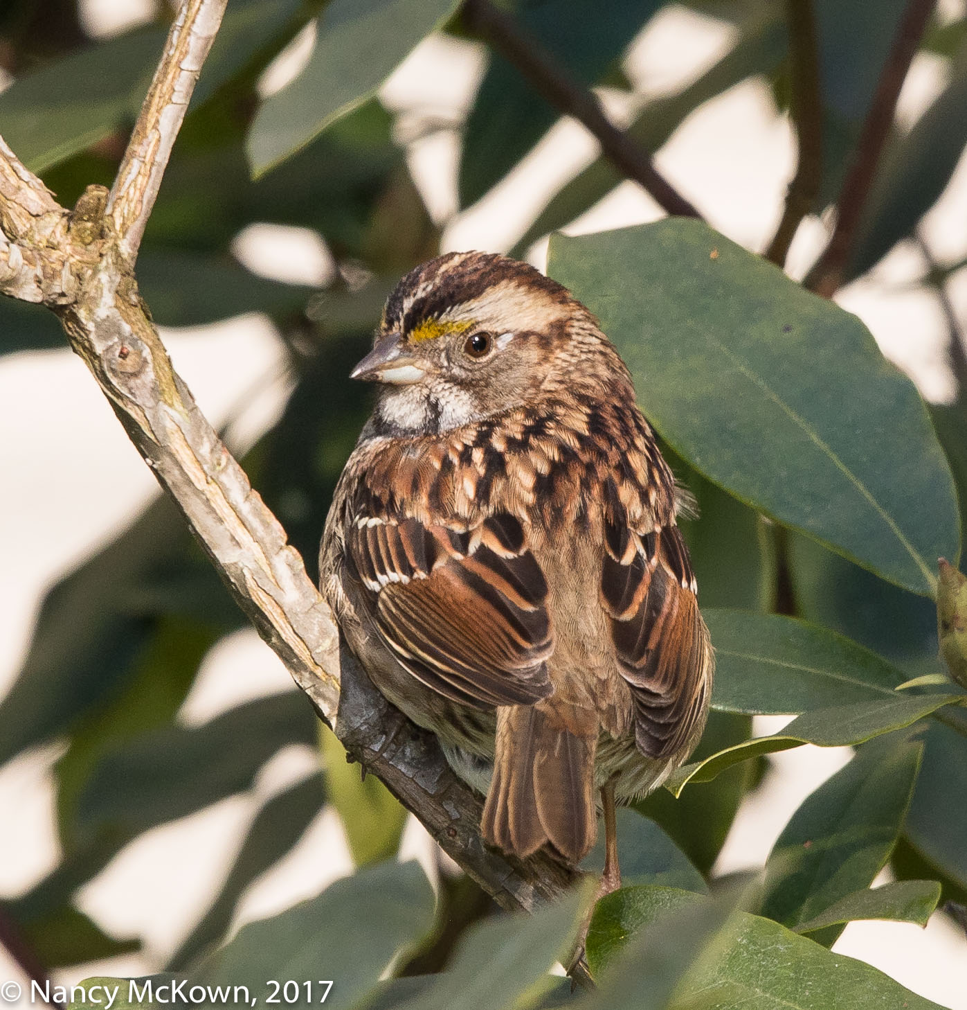 White Throated Sparrow. Tan Color Morph