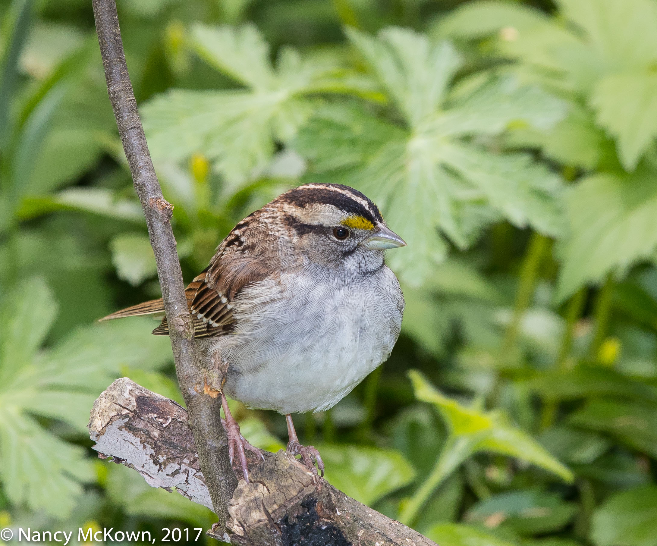 White Throated Sparrow-Tan Stripe