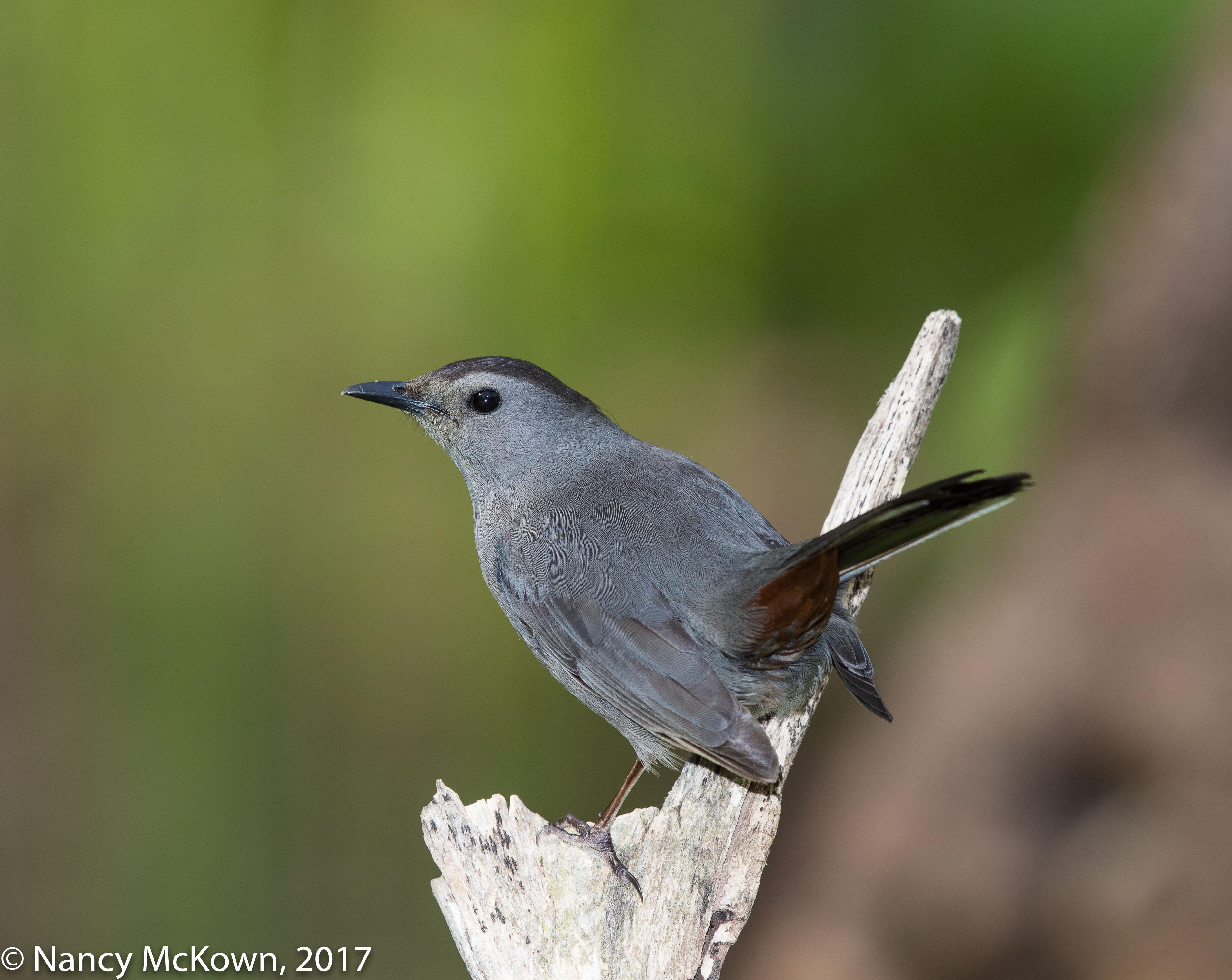 Photo of Gray Cat Bird