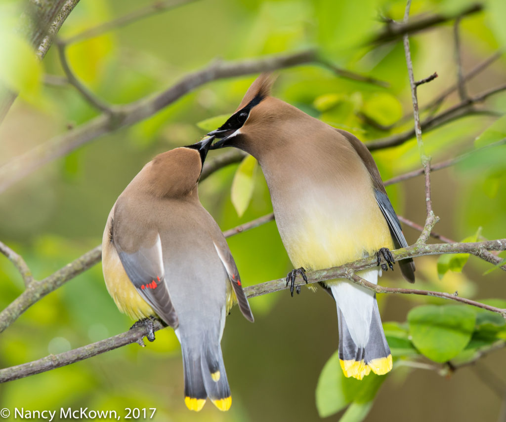 Photo of Cedar Waxwings