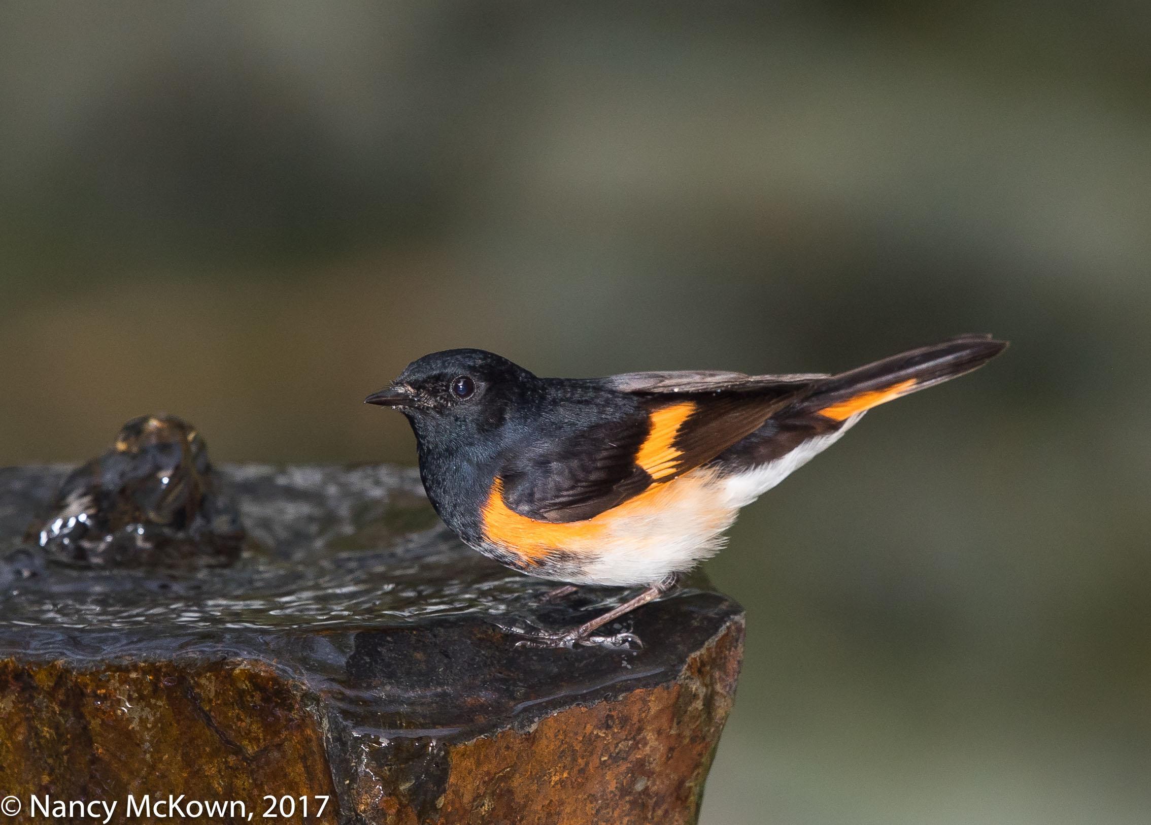 Photo of American Redstart