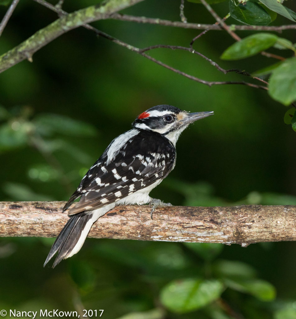 Photo of Hairy Woodpecker
