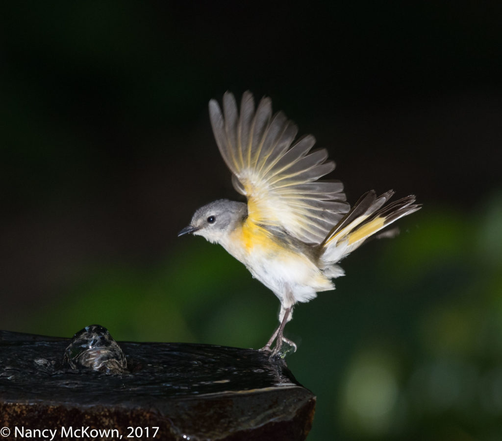 Photo of Female American Redstart Warbler at Fountain