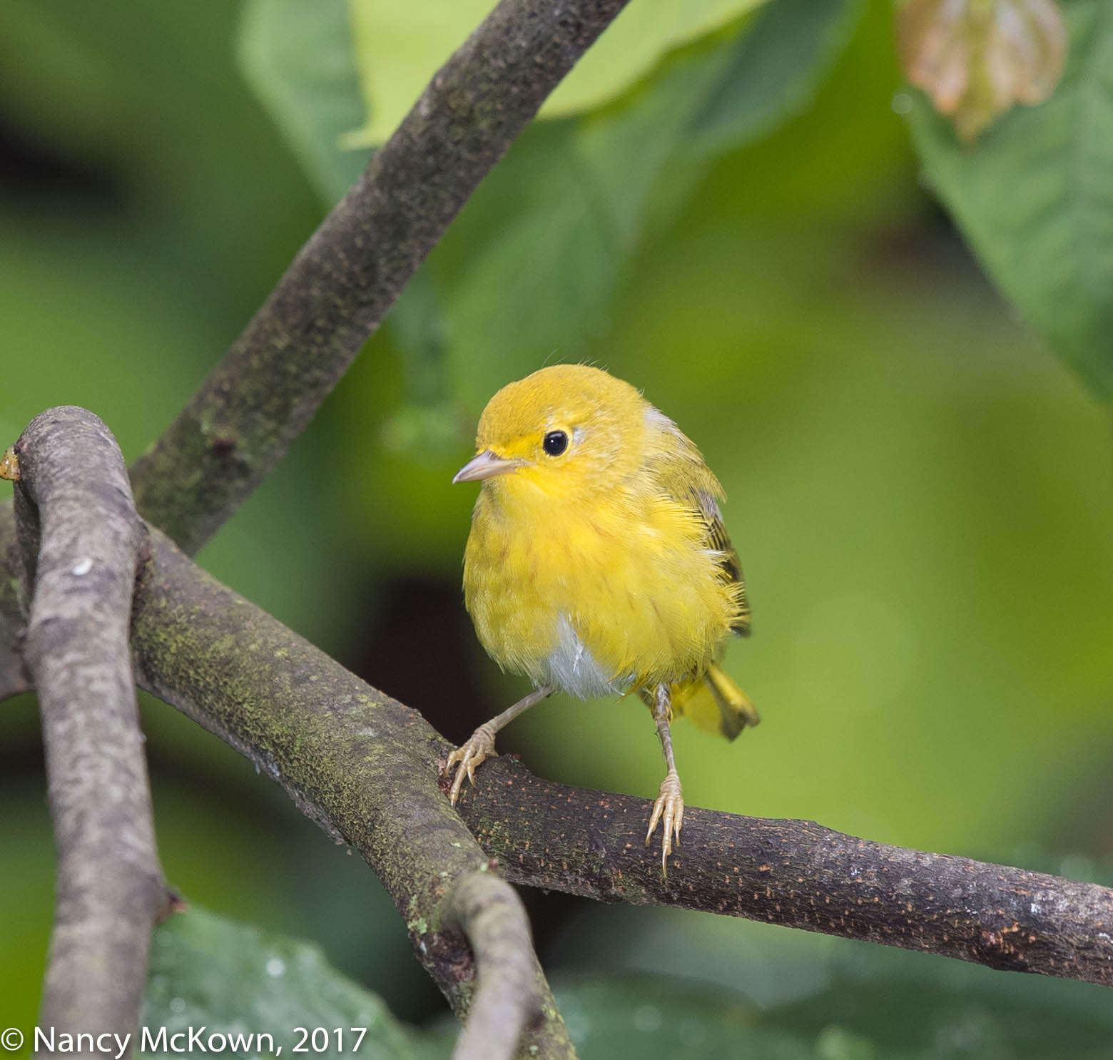 Photo of Young Yellow Warbler