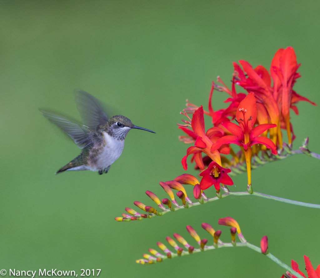 Photo of Female Ruby Throated Hummer
