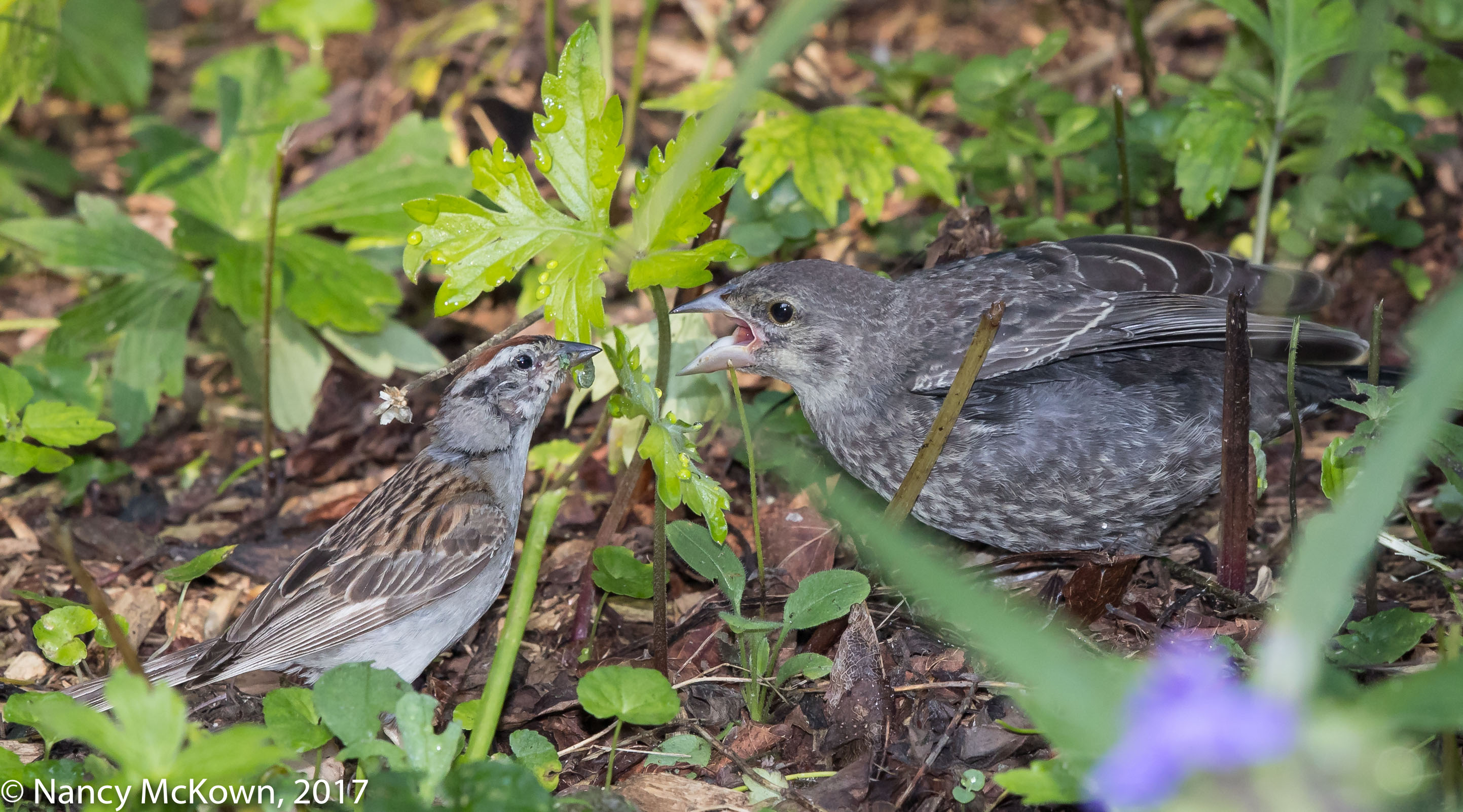 Photo of Chipping Sparrow with Cowbird Young