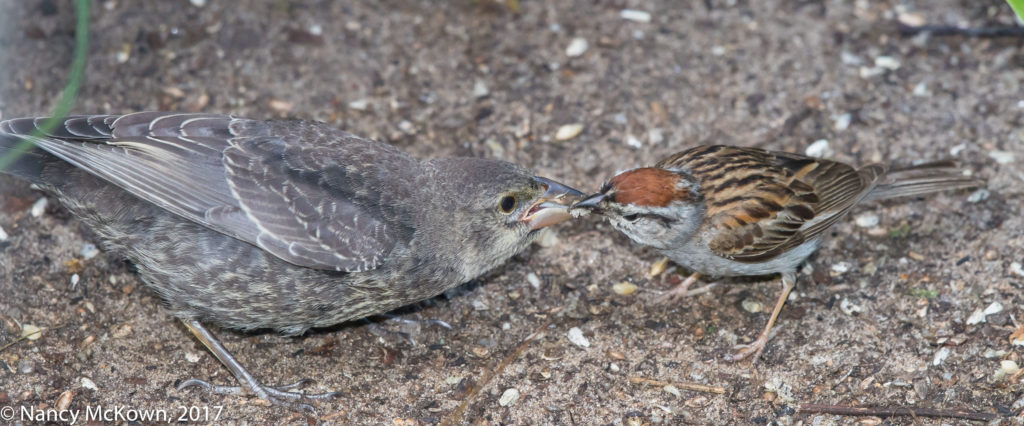Photo of Chipping Sparrow with Cowbird
