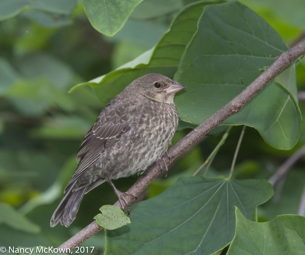 Photo of Brown Headed Cowbird