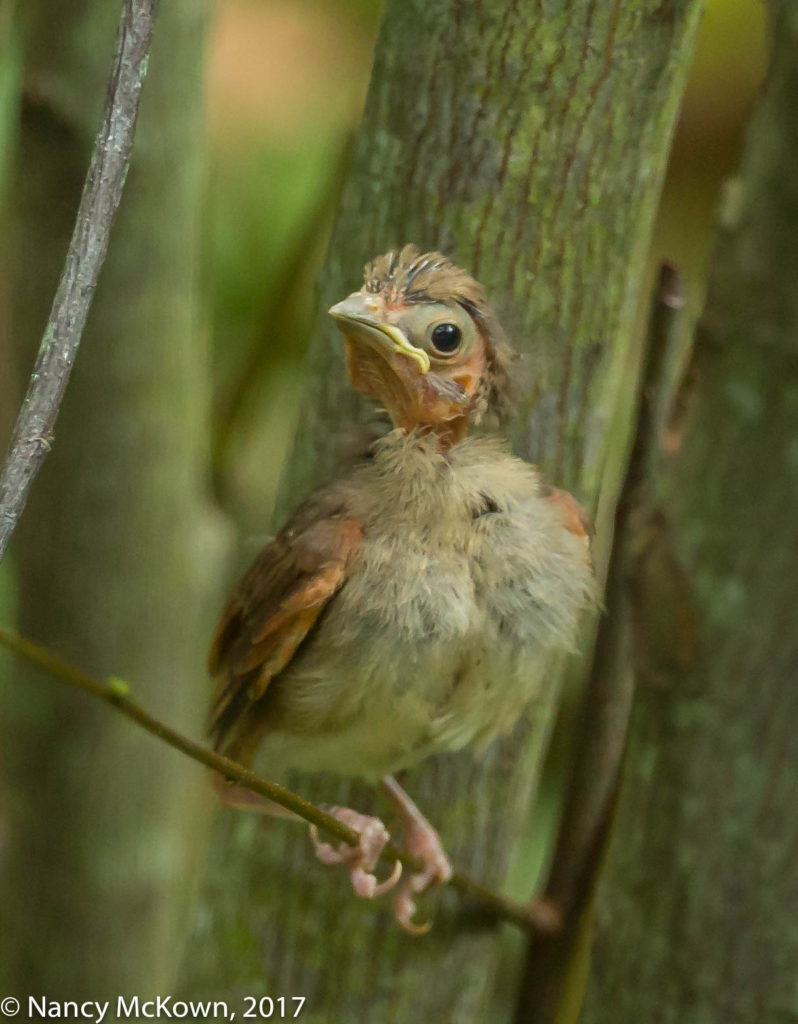 Photo of Fledgling Cardinal