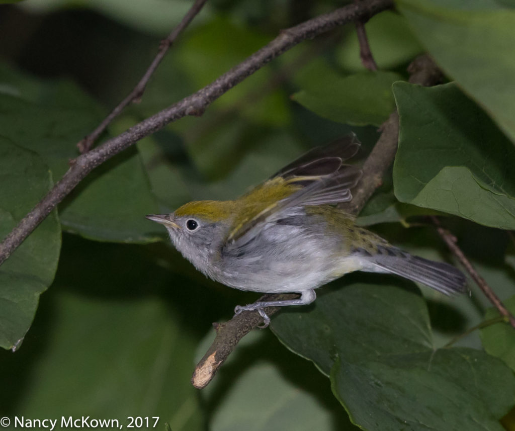 Female Chestnut Sided Warbler