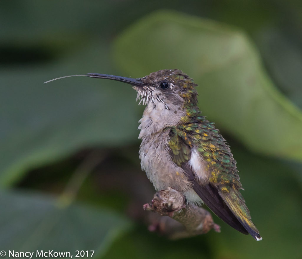 Ruby Throated Hummer