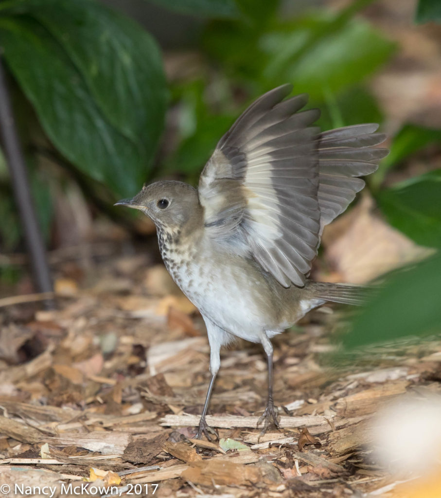 Photo of Swainson Thrush