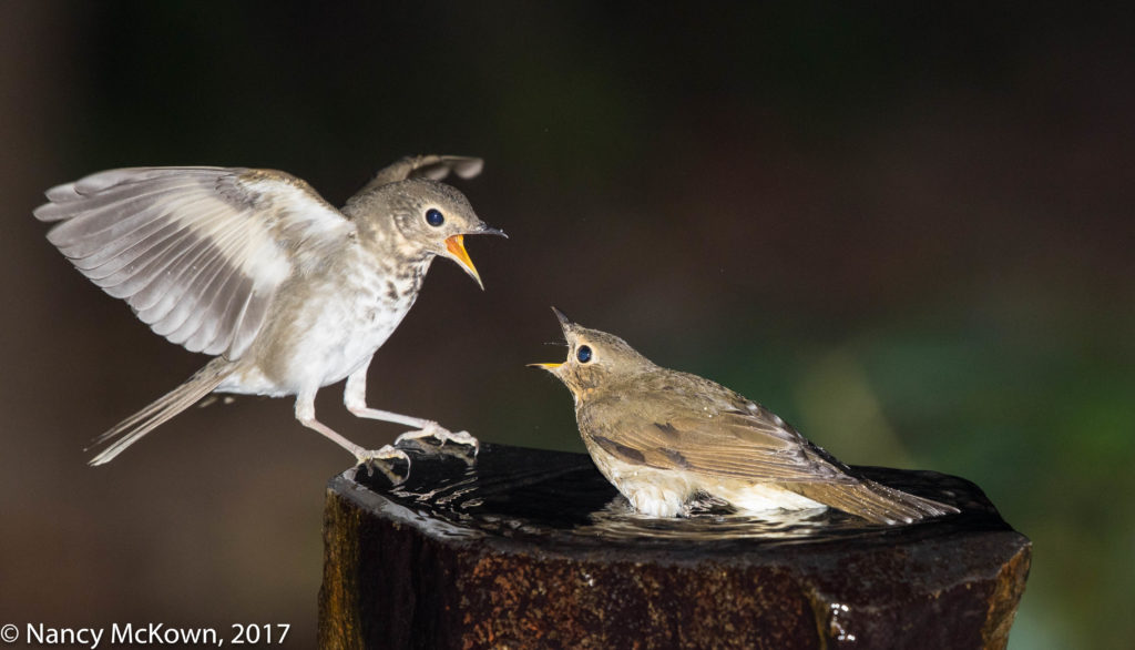 photo of Swainson Thrushes