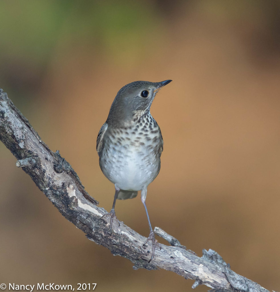 photo of Gray Cheeked Thrush