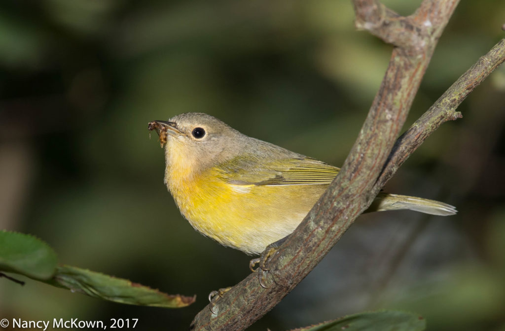 Photo of Nashville Warbler