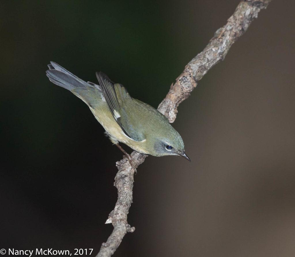Female Black Throated Blue Warbler